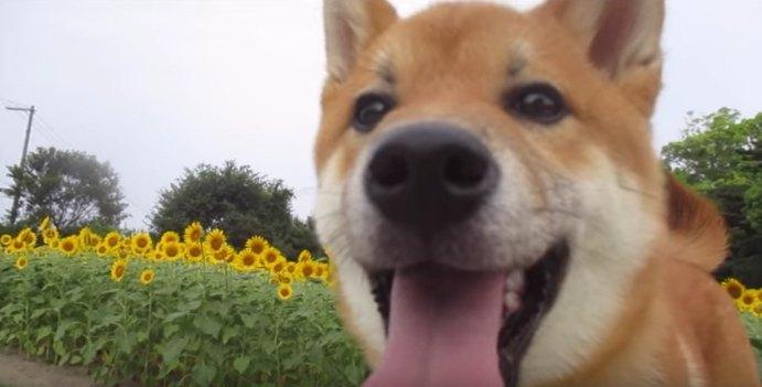 柴犬さんとひまわり畑と蟻さんと・・・♡