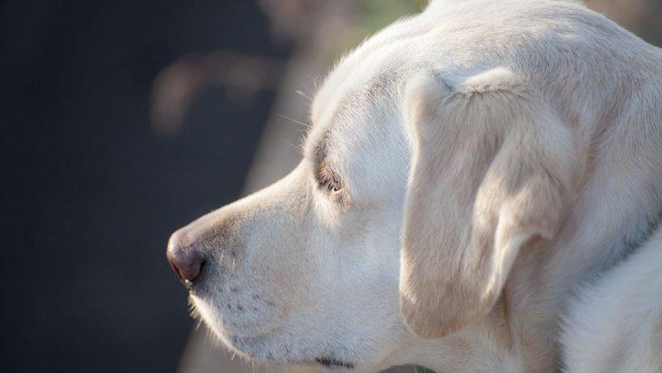 犬が耳を後ろに倒しているときの心理とは?