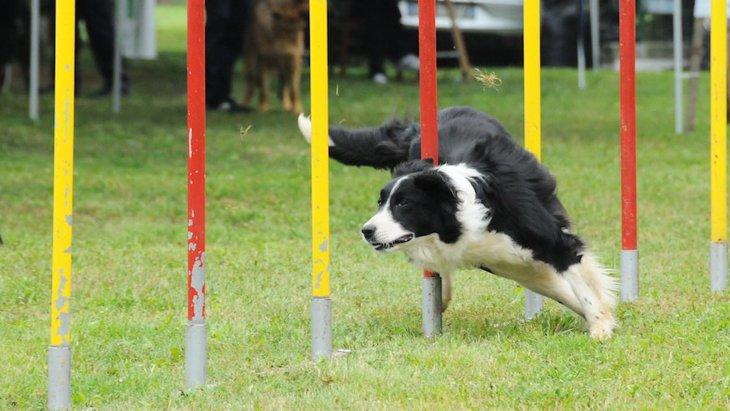 アジリティが犬に与える良い影響とは?やるとどんなメリットがある?