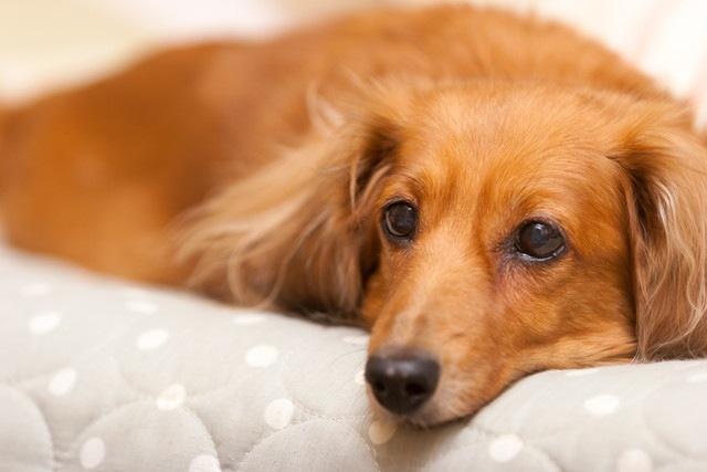 犬は頭を使うことで脳の老化が予防できる【研究結果】