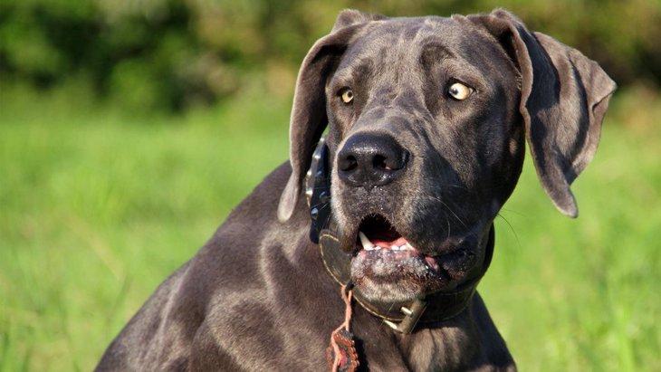 グレートデーンの調査から犬の恐怖に関連するゲノム領域が明らかに!
