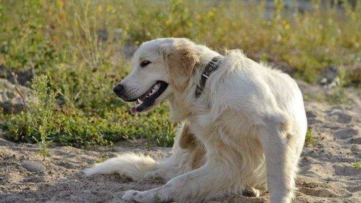 犬のアトピー性皮膚炎と問題行動には関連があるか?【研究結果】