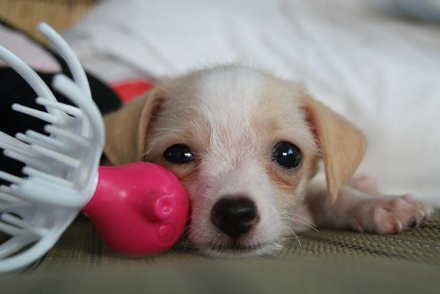 犬のおもちゃのお片付けは遊びながらしつけよう!