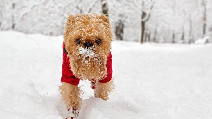 冬に犬に靴を履かせるメリットと注意点