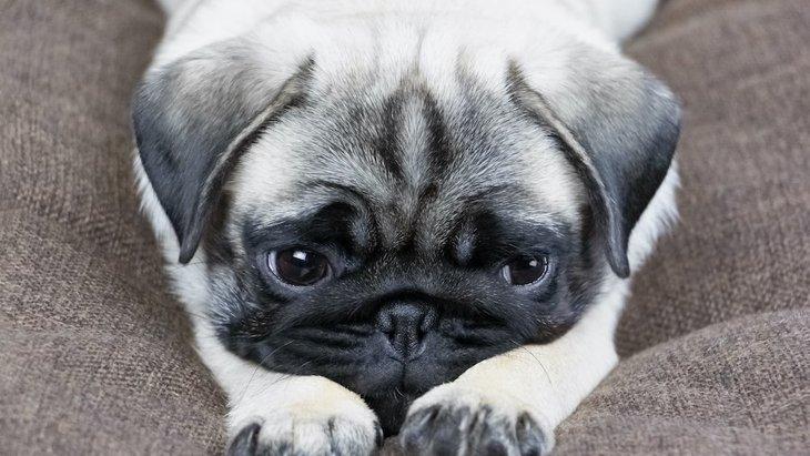 犬が生理になった時に表れる症状3選!どんなことに気を付ければいいの?