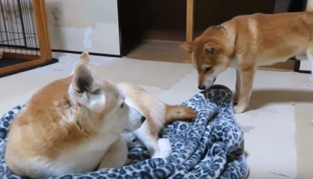 一緒にいれば暖かいよ♡柴犬コンビは今日も仲良し