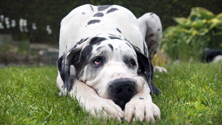 寿命が短いと言われている犬種4選