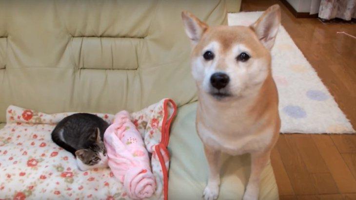 お隣いいですか…?子猫の隣に座りたくて空回りしてしまう柴犬