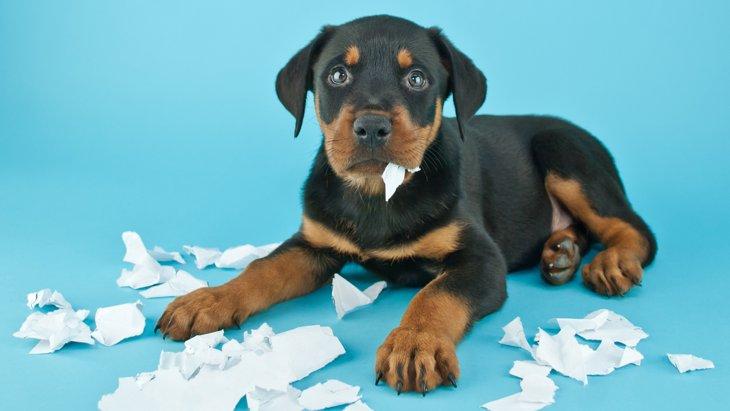 愛犬がトイレシートを破る原因と対処法について