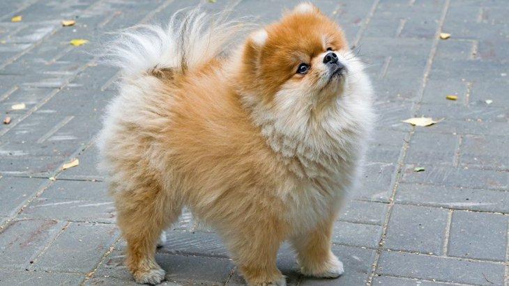 オランダ政府が定めたマズルの短すぎる犬の繁殖の規制