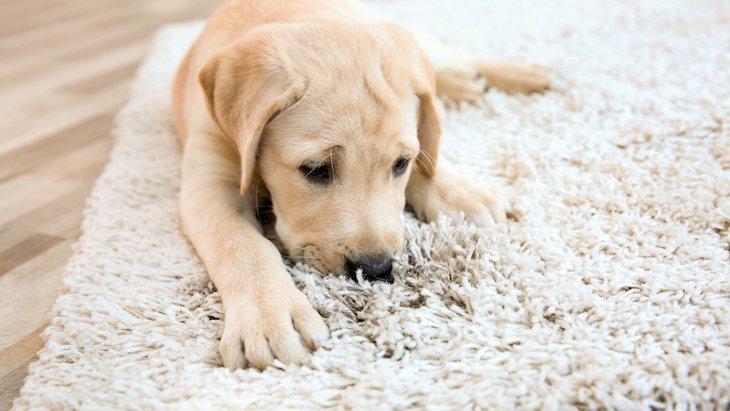 犬がカーペットや絨毯を舐める5つの理由