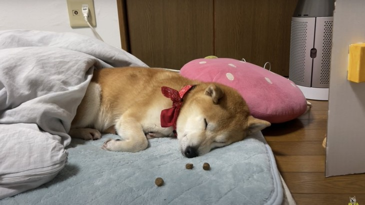 【実験】寝ている目の前にオヤツを置いたら柴犬ちゃんはどうするの?