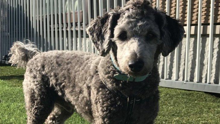ミックス犬のダップー 性格や特徴、成犬の大きさや子犬の値段、販売場所や迎え方