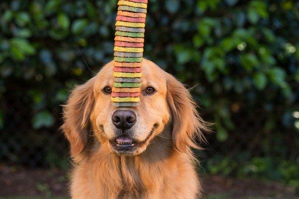 犬の「ご飯」と「おやつ」は何が違うの?