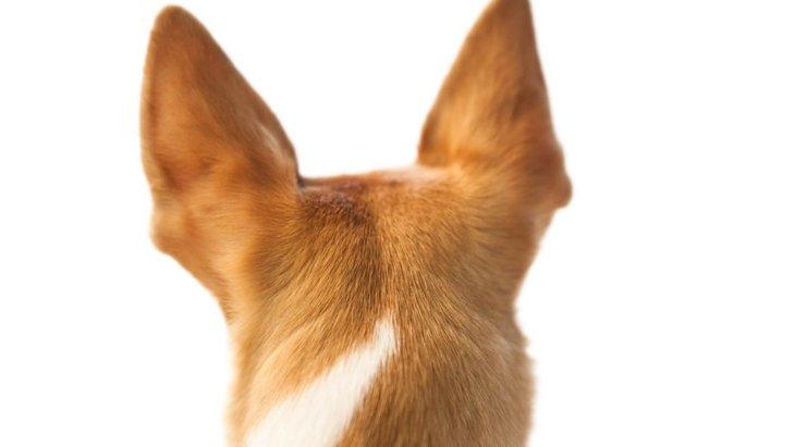 犬の耳の形には、それぞれ名前がついている!