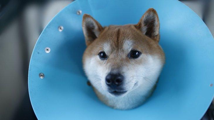 犬がエリザベスカラーを嫌がる時の対処法4つ