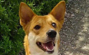 片目の保護犬ニコ。出会いから現在まで。