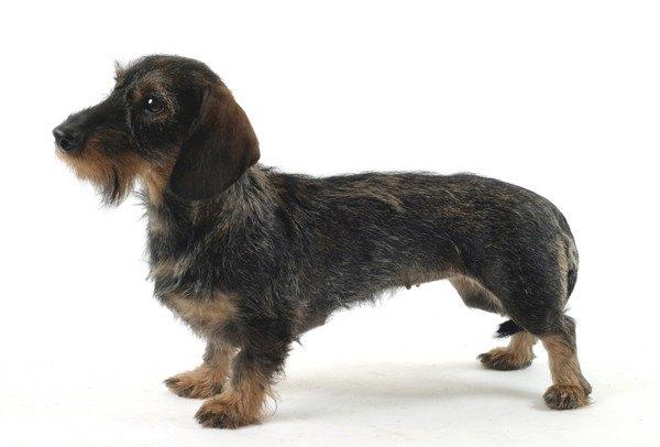 カニンヘンダックスの性格や特徴、子犬の値段から飼い方まで