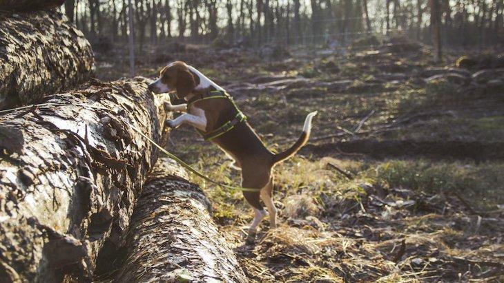 豪州の山火事で傷ついたコアラを捜索する犬のテイラー