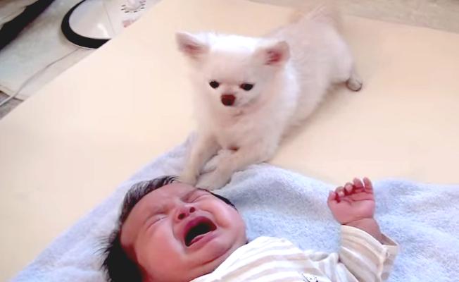チワワが赤ちゃんを慰める!?自分のおやつを我慢してまでなだめる姿が可愛すぎる♡