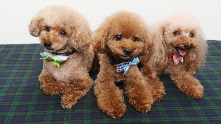 犬の交配の方法とその注意点、トイプードルのブリーダーについて