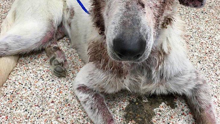 酷い皮膚病で飼い主に見捨てられた犬 手厚い医療で見違える姿に!