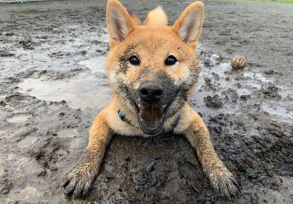 泥んこまみれの柴犬さん!可愛い笑顔に「許すしかない」と話題!