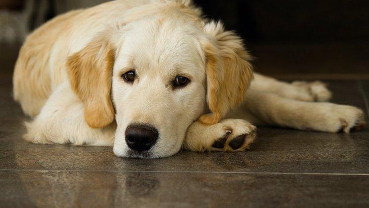 犬が切ない表情でこちらを見てくる心理4選