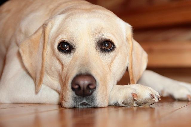【元動物看護師体験談】事故後に治療をしてもらえないラブラドール