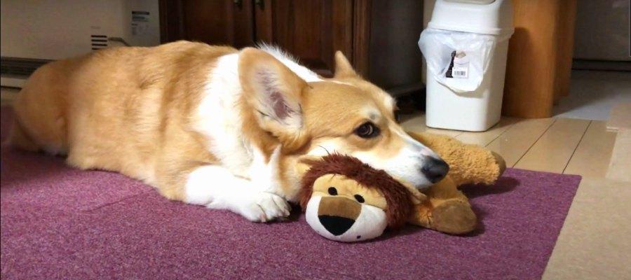 ライオンくんは絶対渡しません!あご乗せ拒否するコーギーさん