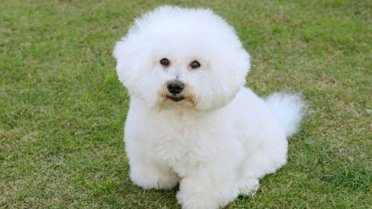 クルクルとした巻き毛を持つ犬種3選