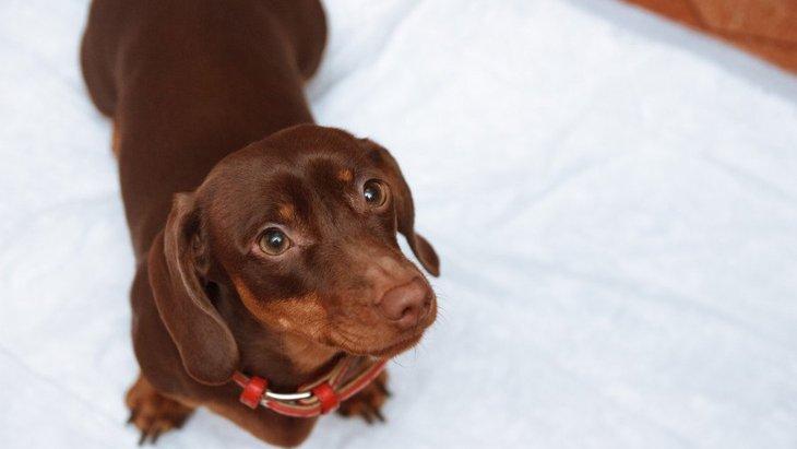 犬がウンチを部屋中に散らかしてしまう理由3選!どうやって改善させればいい?