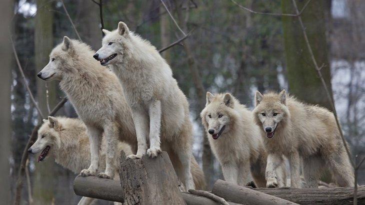 オオカミは犬よりも向社会性が高いのか?という研究結果