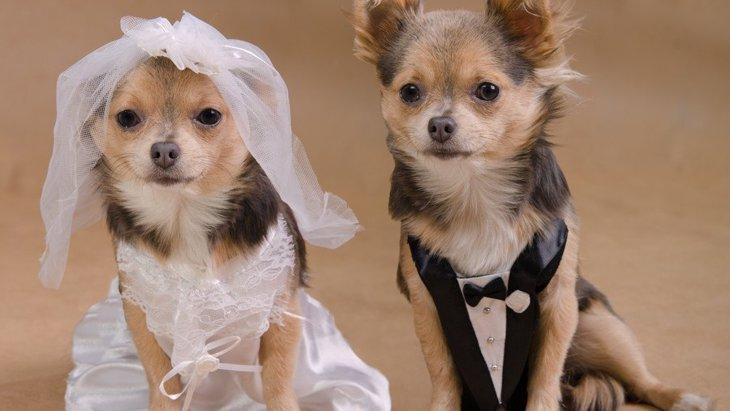 犬のウエディングドレスのオススメ商品2選!ペット服のお店や通販サイト