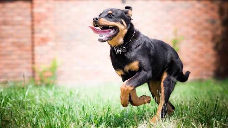 走るのが得意な犬種10選
