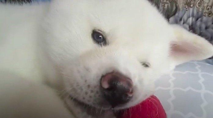 まるでぬいぐるみ?!子犬の秋田犬がかわいすぎる件♡