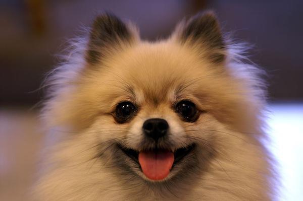 ポメラニアンの飼い方について正しい方法と注意すべき事