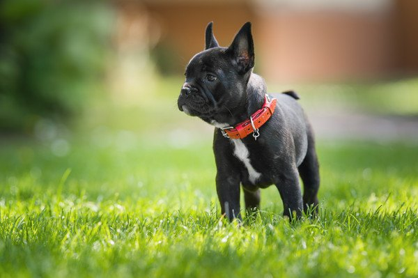 フレンチブルドッグの性格や特徴、ブリーダーから子犬の値段まで
