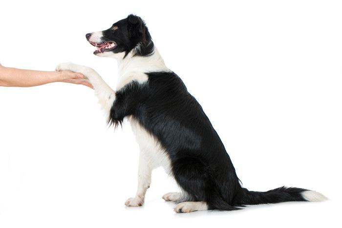 ボーダーコリーの性格や特徴、飼い方や値段について
