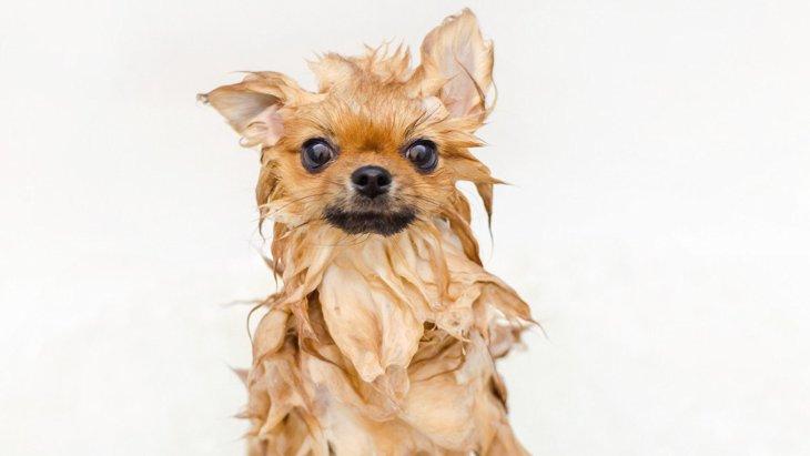 犬に『人間用のシャンプー』は使っても大丈夫?考えられるリスクと正しい洗い方