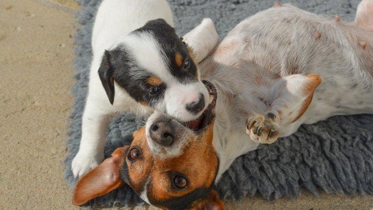親犬が子犬を噛む理由と対処法