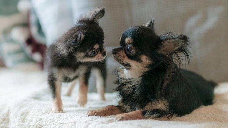【ギネス記録も】犬の『最小サイズ』『最大サイズ』はどのくらい?