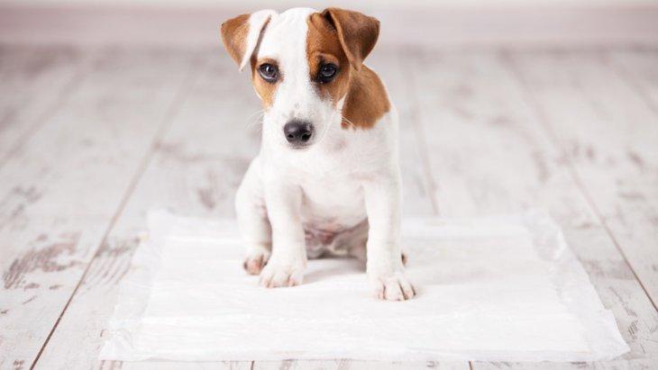 犬がトイレシートの上で寝る理由と対処法