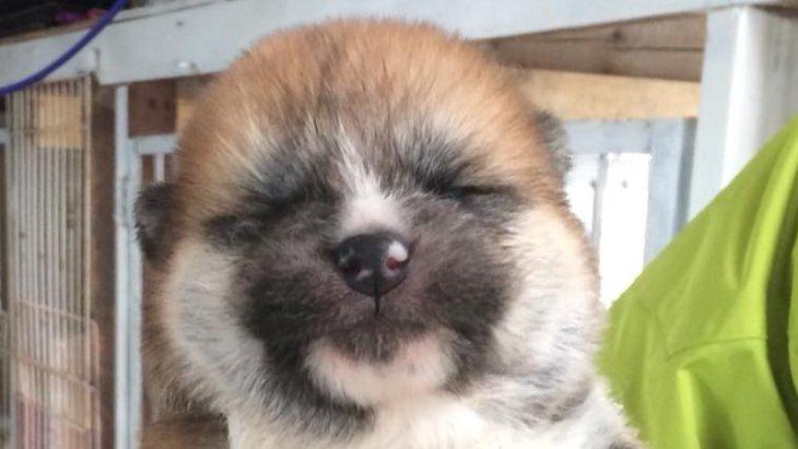 悶絶必至!生まれたてほやほや♡手乗りサイズの秋田犬パピーが話題