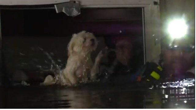 ハリケーン・フローレンスの洪水の中で取り残された犬