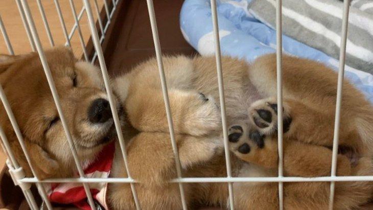 「すやぁ~」愛らしいが過ぎる!柴犬パピーの寝姿に悶絶必至