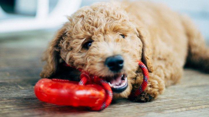 被害続出!犬の歯が折れる…硬いおもちゃに気を付けて!