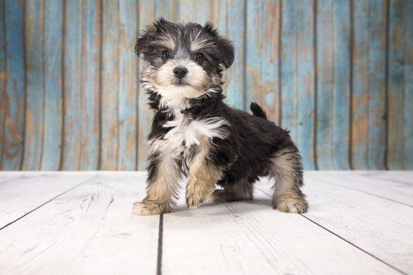 ヨープーってどんな犬?性格や特徴、仔犬の価格まで