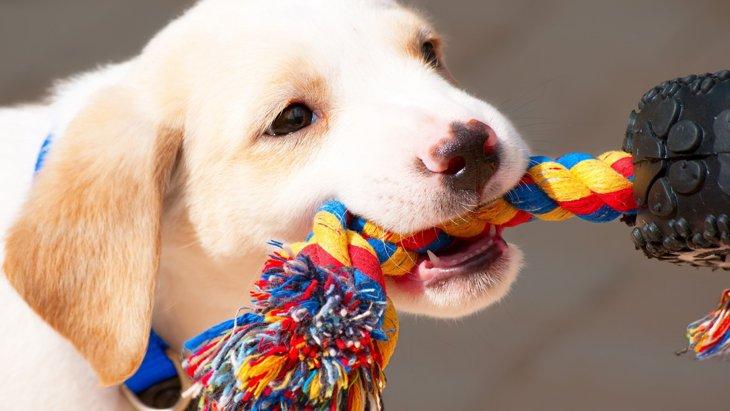 実は都市伝説だった!「遊びで犬が勝つのはダメ」説について