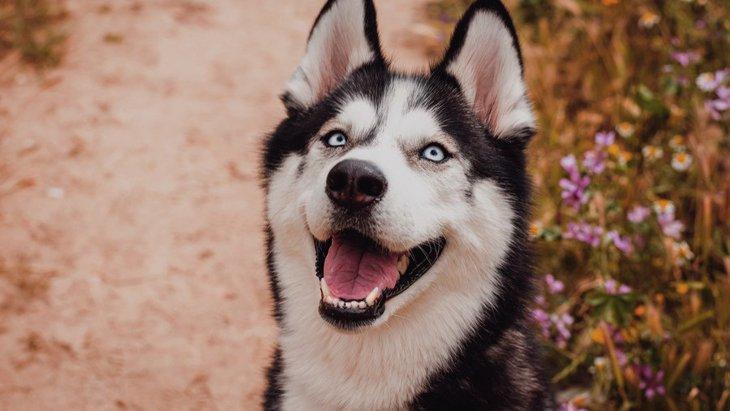 真っ青な瞳を持つ犬種3選!飼う時の注意点からNG行為まで